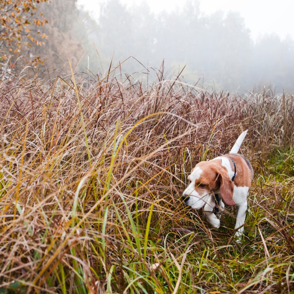 can a hunting dog be a family pet
