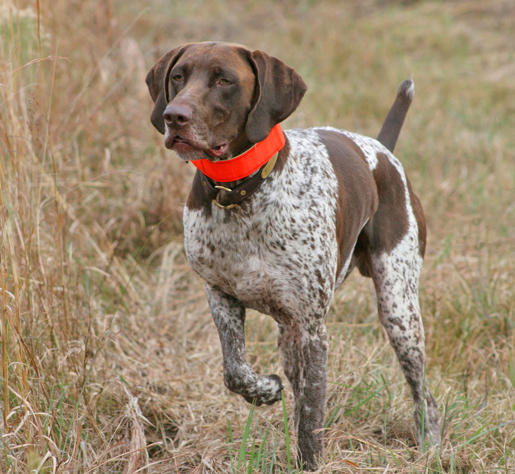 Best bird dog breed for Best dog breed for you