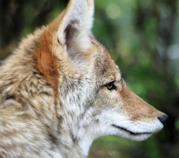 Coyote-Face