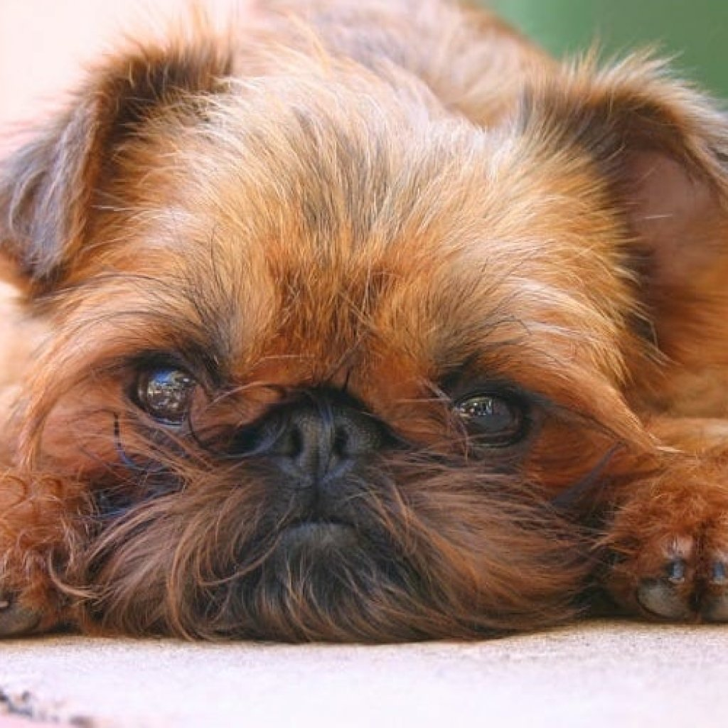 Dog Breeds That Don't Shed - Brussels Griffons