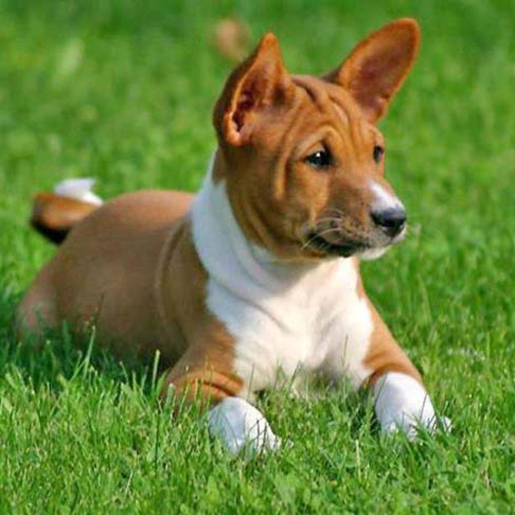 Dog Breeds That Don't Shed - Basenji