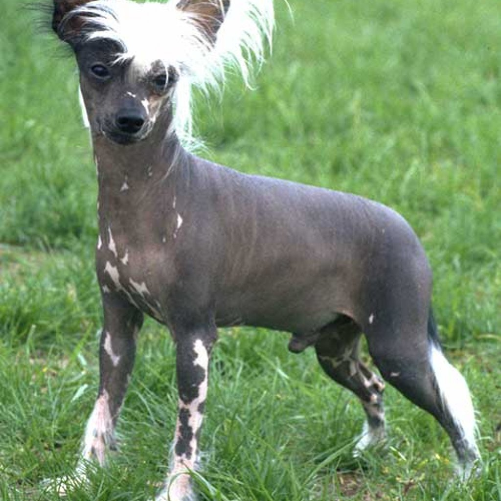 Dog Breeds That Don't Shed - Chinese Crested