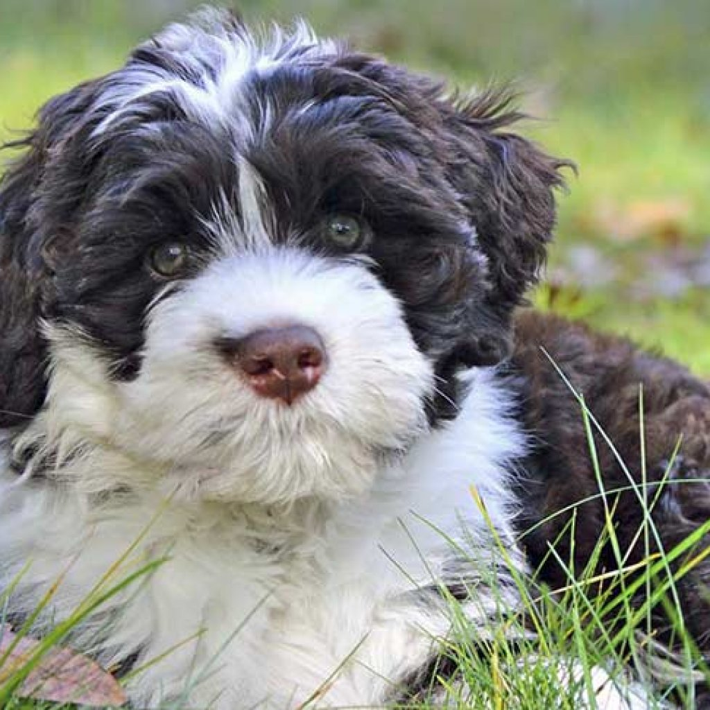 Dog Breeds That Don't Shed - Portuguese Water Dog