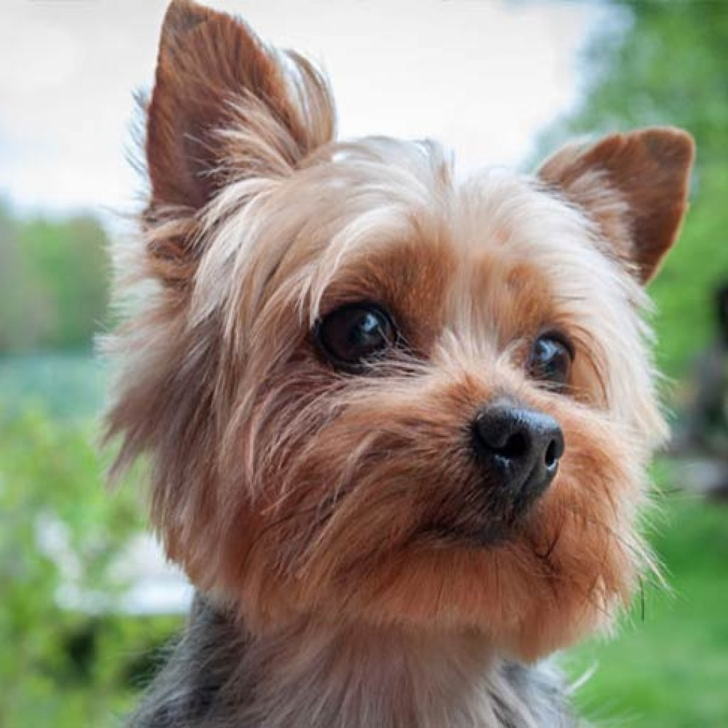 Dog Breeds That Don't Shed - Yorkshire Terrier