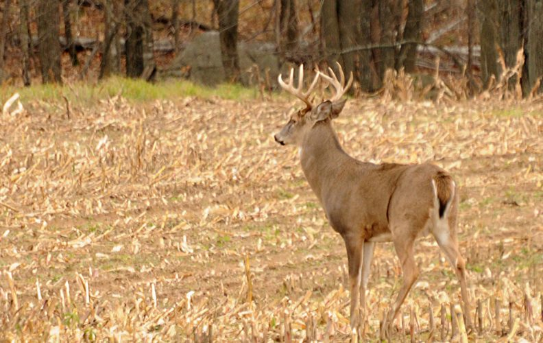 Baiting Deer: the 5 Tips That Actually Work